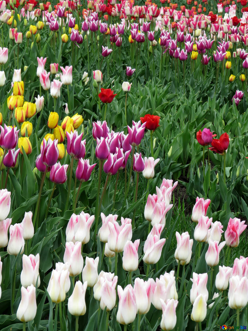 Tulips №31158