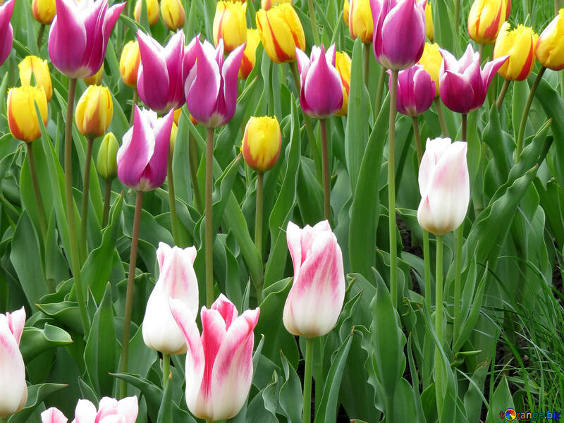 Colored tulips №31160