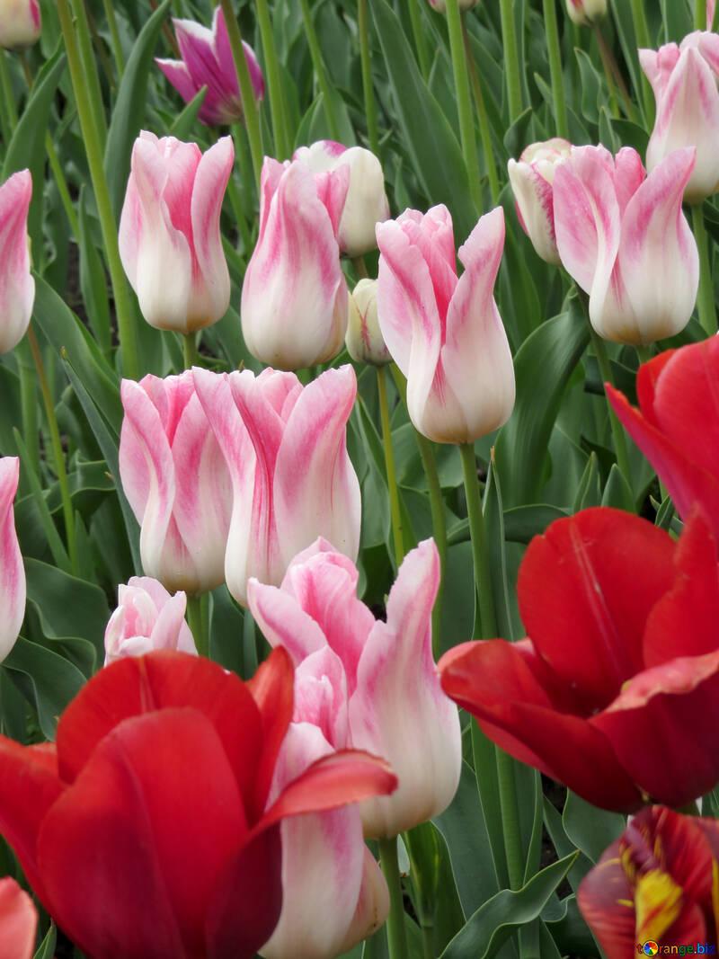 Tulips on postcard №31166