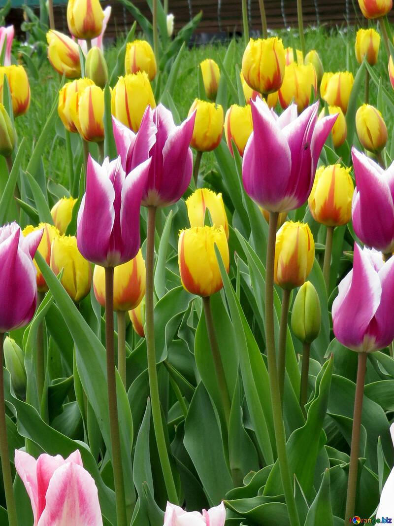 Different varieties of tulips №31162