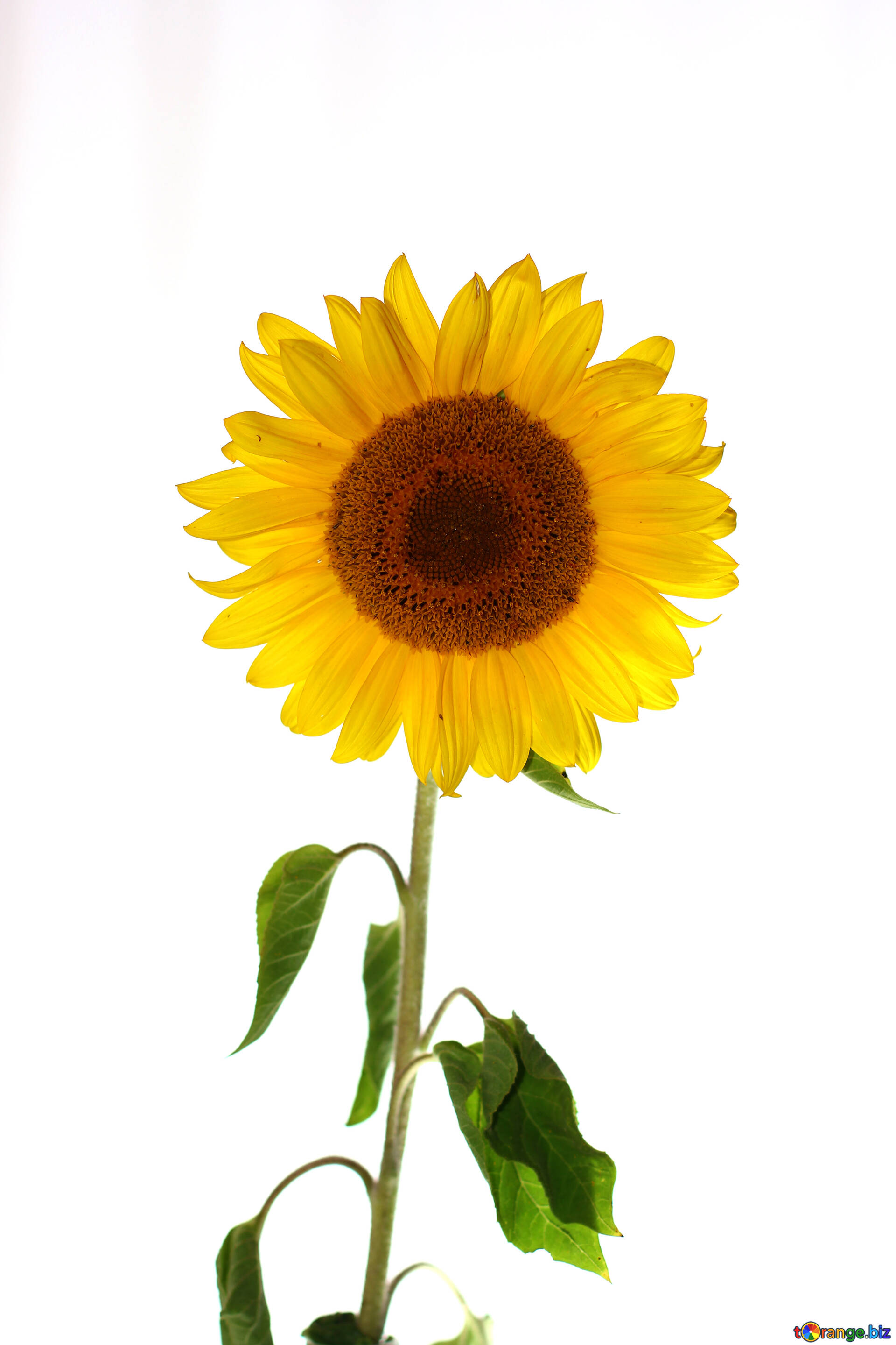 Sunflowers isolated on white background sunflower flower on isolated download free image sunflower flower on isolated white background in hd wallpaper size 1920px mightylinksfo