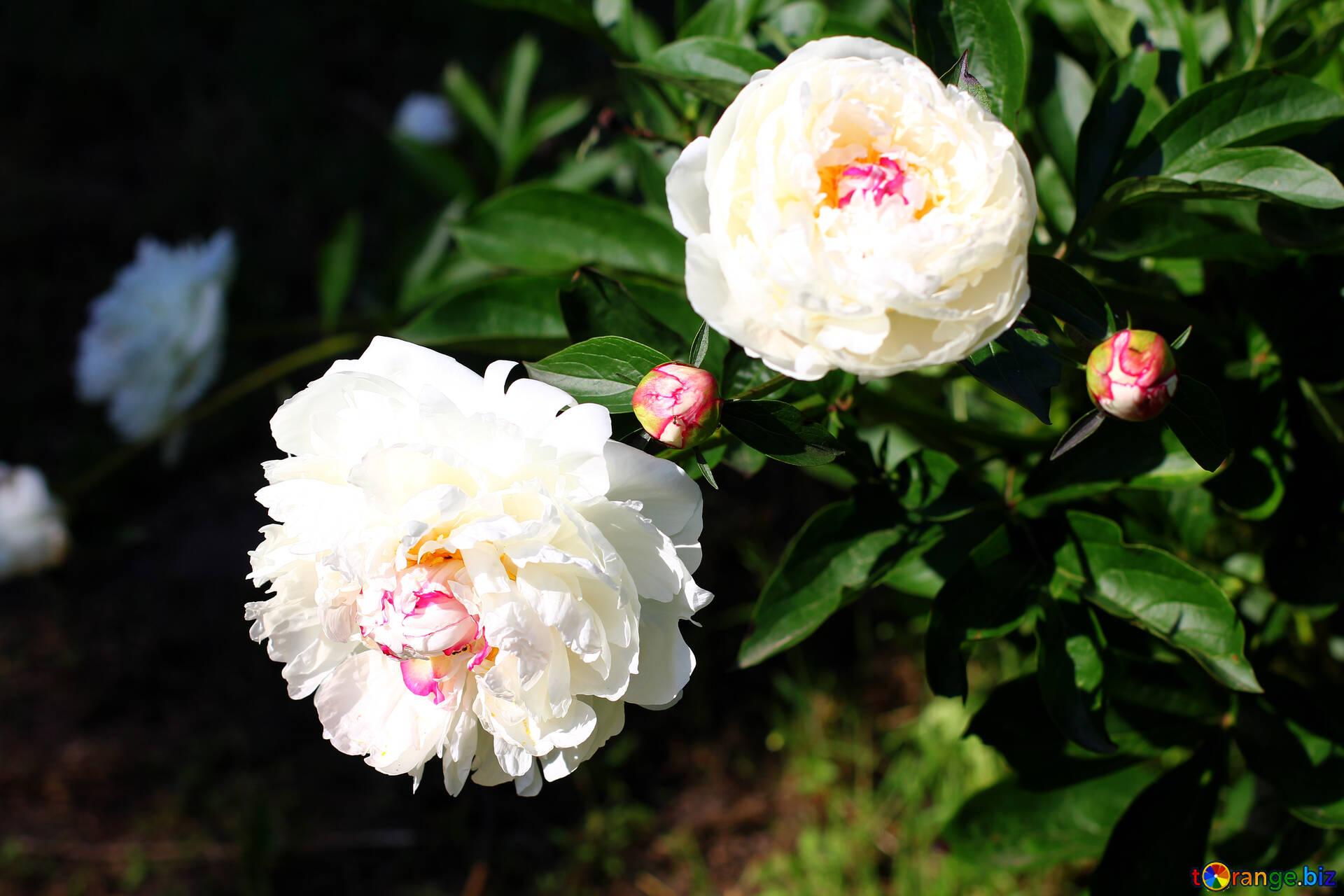 Flowers Peonies White Peonies On Bush Village 32648
