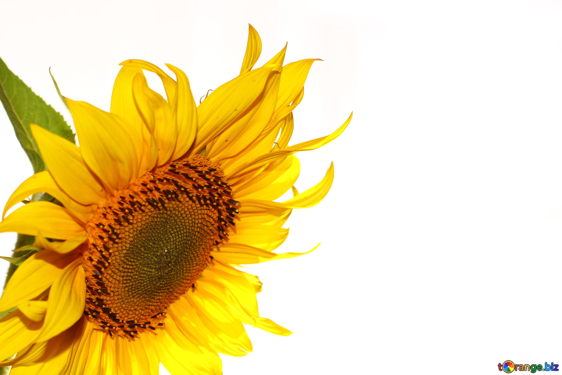 Sunflowers Isolated On White Background Wallpaper On The Desktop