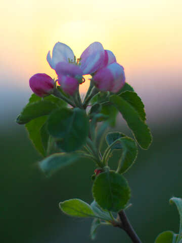 Apple flower №32434