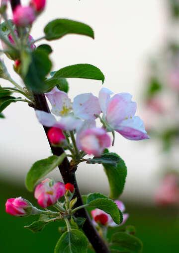 Яблоня цветёт  №32428