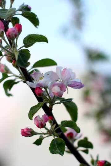 Ein Zweig der blühenden Apfelbäume №32427