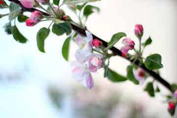 Ein Zweig der blühenden Apfelbäume №32430