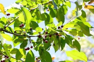Siberian Apple-tree №32986