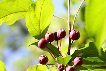 Small Apple tree №32989