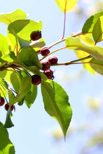 Apple tree small №32985