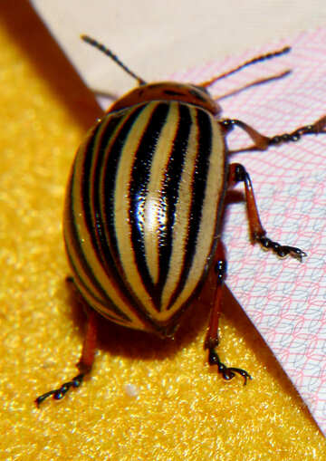 Colorado potato beetle №32132