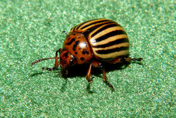 Colorado potato beetle №32152
