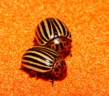 Potato beetle №32153