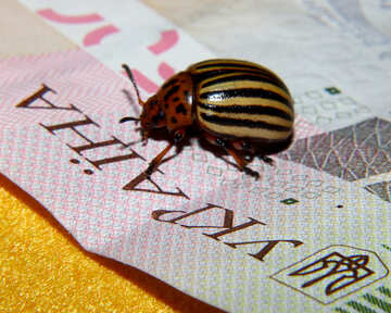 Colorado potato beetle on the background of Ukraine №32129