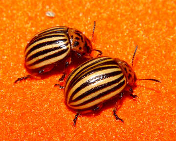 Colorado potato beetle bugs №32155