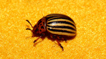 Colorado potato beetle close-up №32128