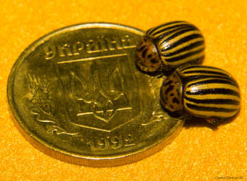 Colorado potato beetle and the coat of arms of Ukraine №32123