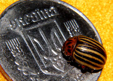 Colorado potato beetle Ukraine №32148