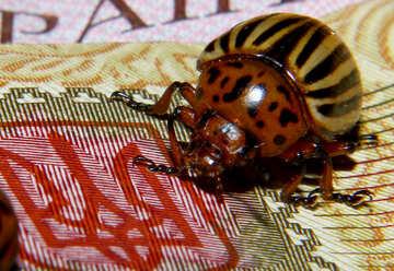 Colorado potato beetle on the Ukrainian coat of arms №32138