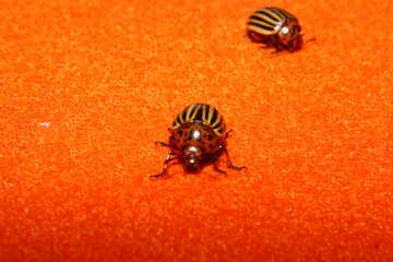 Striped beetle №32154