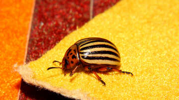 Potato beetle pest №32127