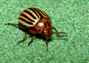 Striped beetle pest №32151