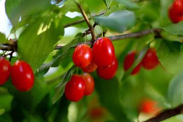 Dogwood berries on branch №32482
