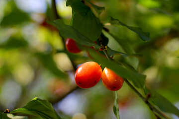 Cornel berries №32486