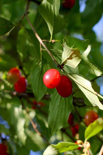 Cornel berries №32491