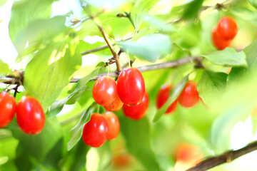 Red dogwood berries №32481