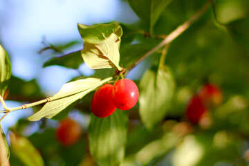 Red berries on the tree, dogwood №32479