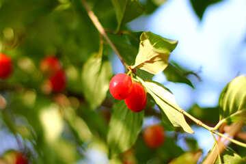 Dogwood berries on the tree №32480
