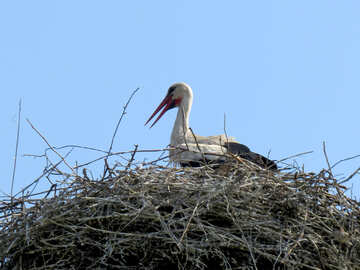 Stork sits in the nest №32378