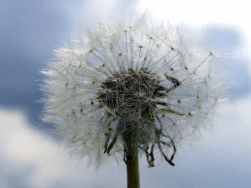 Dandelion against sky №32468