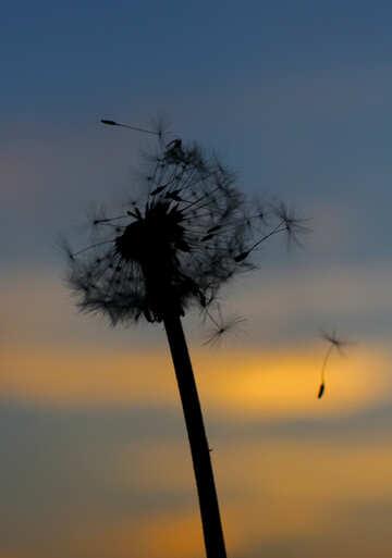 Flying dandelion №32412
