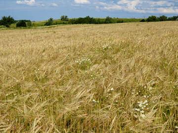Rye field №32500