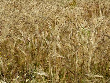Rye spikelets on field №32504