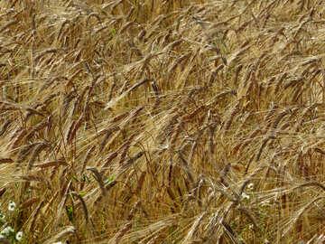 Rye field texture  №32509