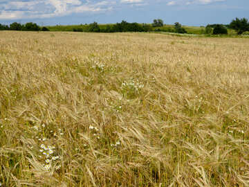 A field of wheat №32499