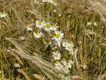 Malezas de flores de manzanilla №32522