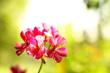 Beautiful flower geranium №32395