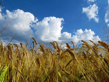 The sky over the bread grain fields №32551