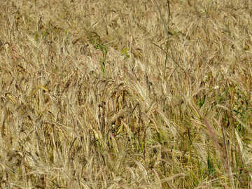 The texture of the bread grain fields №32518