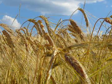 Grain №32557
