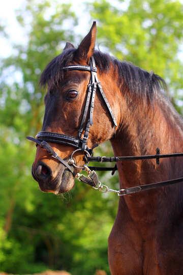 Bay horse №32335