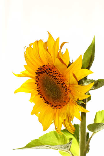 Beautiful flower sunflower isolated №32771