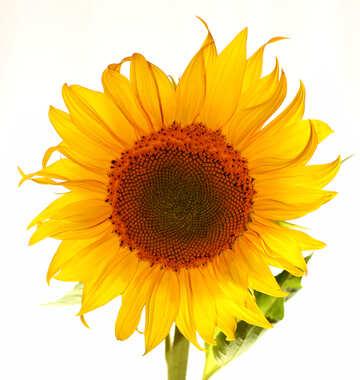 Girasole fiore isolato №32785