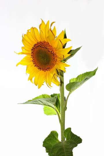 Sunflower isolated №32766