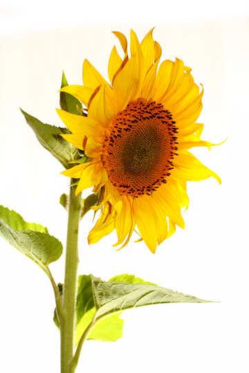 Sonnenblume, isoliert №32768