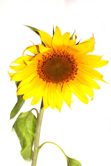 Sonnenblume, isoliert №32787